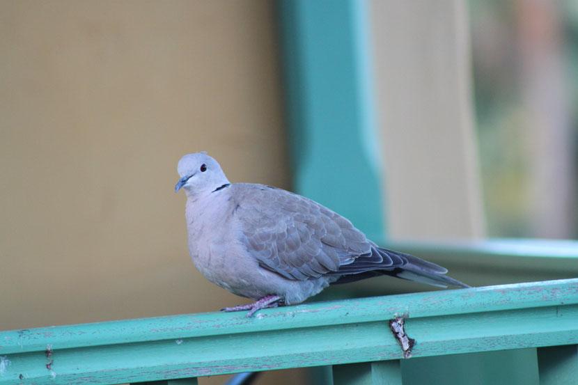 Unsere zutraulichen Tauben auf dem Balkon ff.