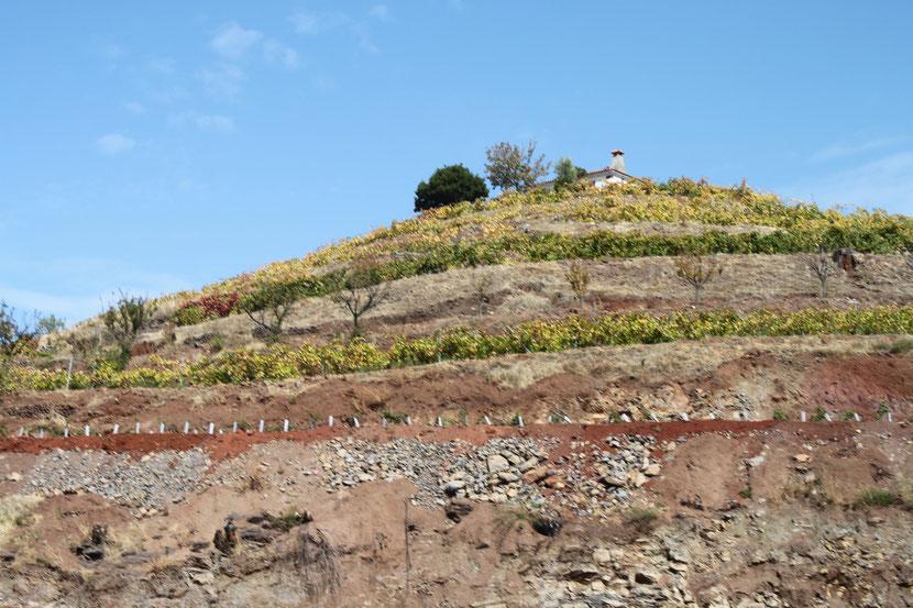 Weinberg, es gibt hervorragende Weine auf La Palma.
