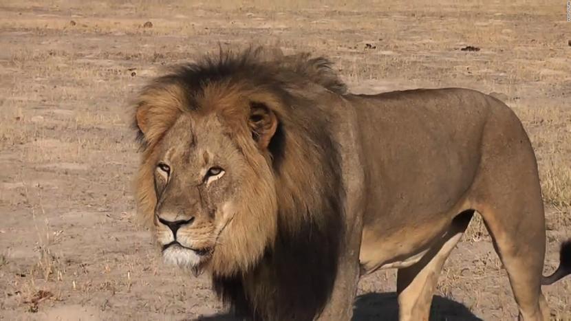 animaux celebre cecil le lion
