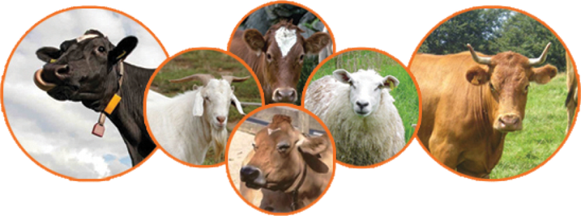 Le premier jour, les Israélites offraient 13 jeunes taureaux, 2 béliers et 14 agneaux d'un an sans défaut. A la fin de la fête des Tabernacles, ce sont 70 jeunes taureaux, 14 béliers et 14X7 = 98 agneaux d'un an sans défaut.