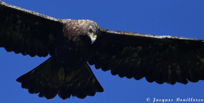 Aigle royal, Golden eagle, Aguila real, Aquila chrysaetos, Femelle Adulte Pyrénées France