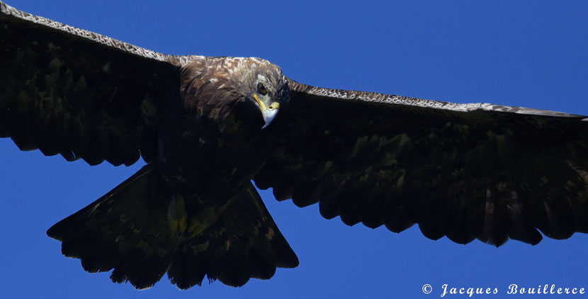 Aigle royal, Golden eagle, Aguila real, Aquila chrysaetos, Femelle Adulte Pyrénées France