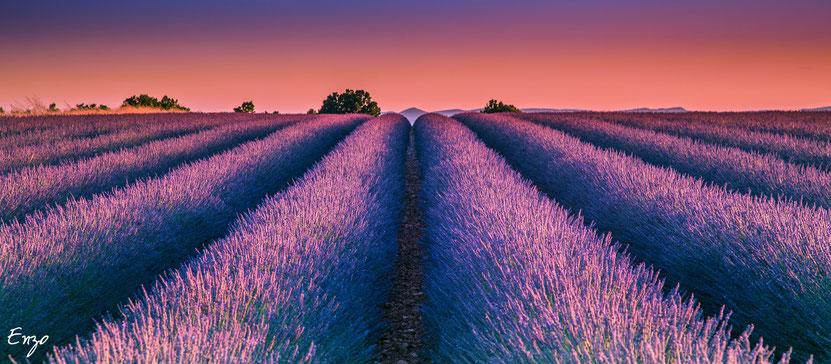 Photo Champs de lavande sur le plateau de valensole en provence à l'heure bleue