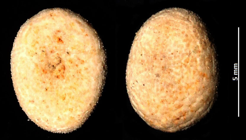 Echinocyamus pusillus? Sabbie a echinodermi di Tarquinia (VT)