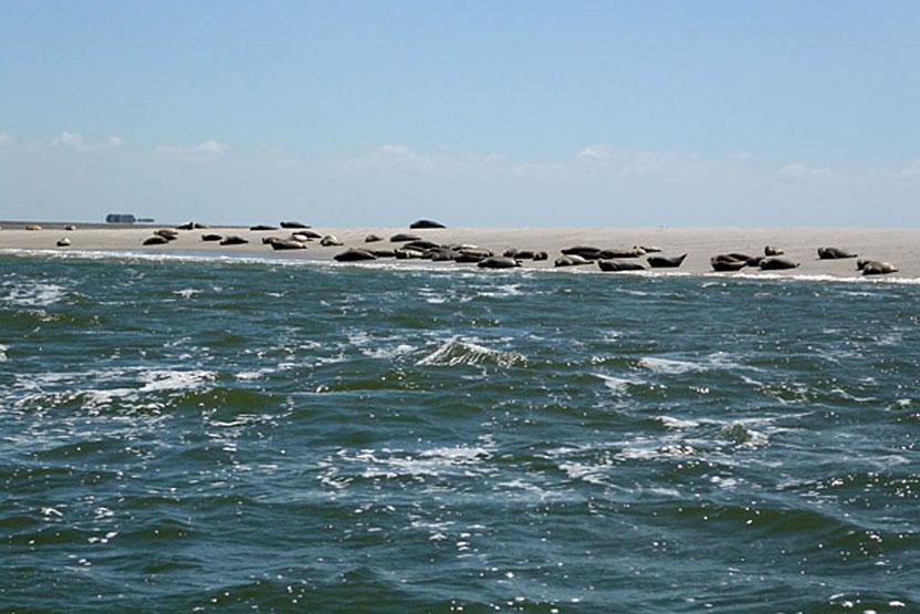 Seehunde sonnen sich auf einer Sandbank