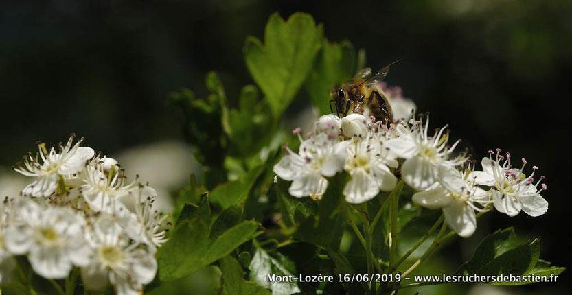 Insecte Apis mellifera butinant Crataegus monogyna en Lozère