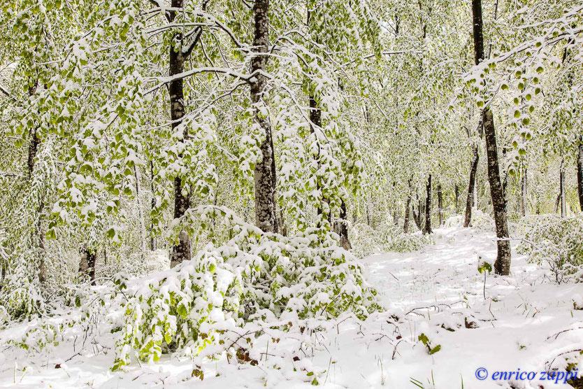 In faggeta le tenere foglie di faggio sono ricoperte dalla nevicata di tardo aprile, una coreografia a dir poco fantastica, un paesaggio magico in un ambiente stupendo!