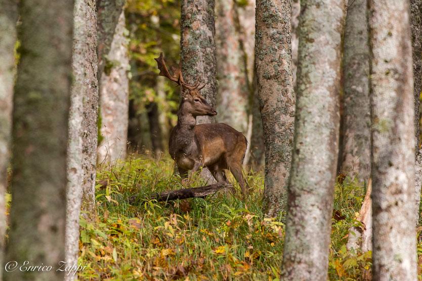 Daino Balestrone nel bosco di Campigna