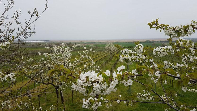 Kirschblüte im Burgenland, Donnerskirchen, Kirschblüte