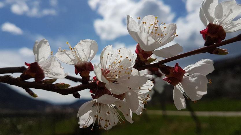 Marillenblüte in der Wachau, Österreich Tourismus, Wachau, Urlaub