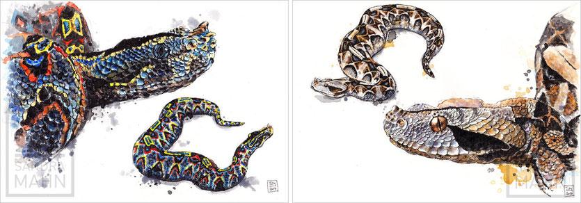 Gabunviper - Nashornviper | gaboon viper - rhinoceros viper