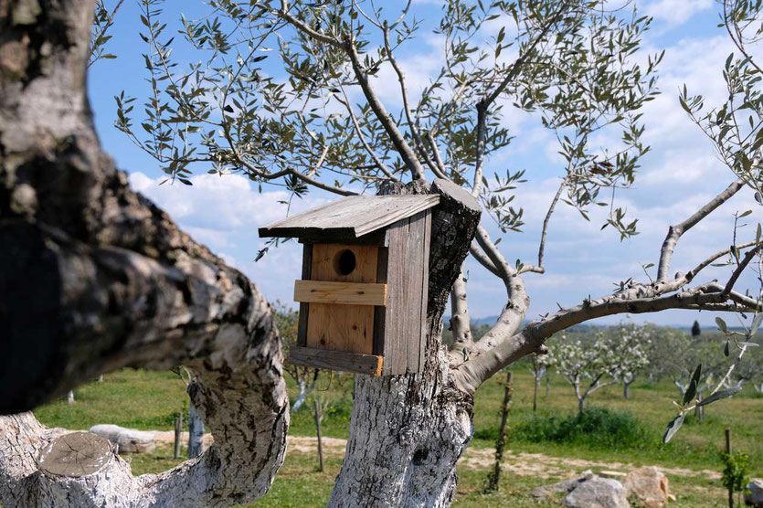 Olivenhain von Omajolas Umag, Istrien