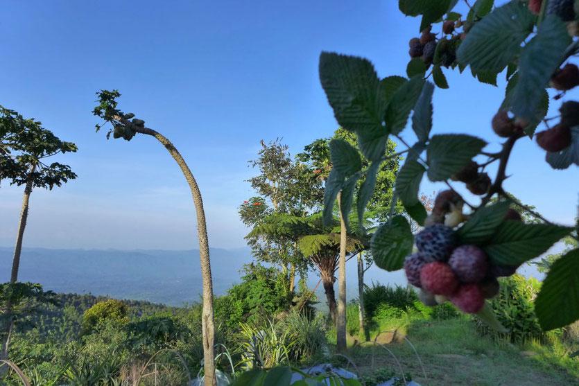 Im hochgelegenen Plantagengarten wachsen neben allerlei exotischen Früchten sogar Erdbeeren und Wildbeeren