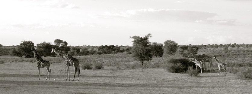 Giraffen im KTP Kgalagadi Transfrontier Park
