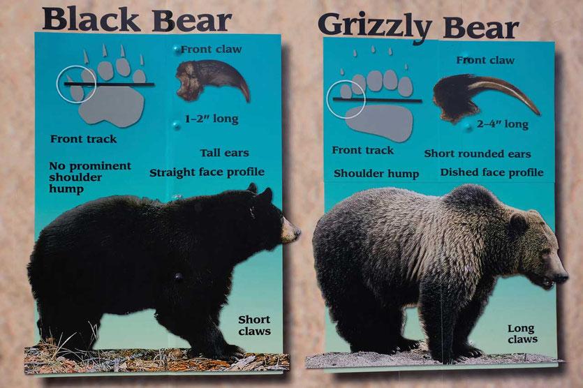Braunbär versus Grizzlybar