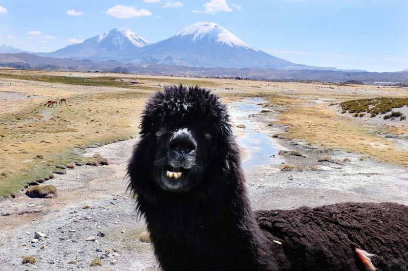 Zwillingsvulkane mit Alpaka, Lauca Nationalpark Chile