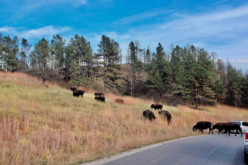 Bison-Stau im Custer State Park