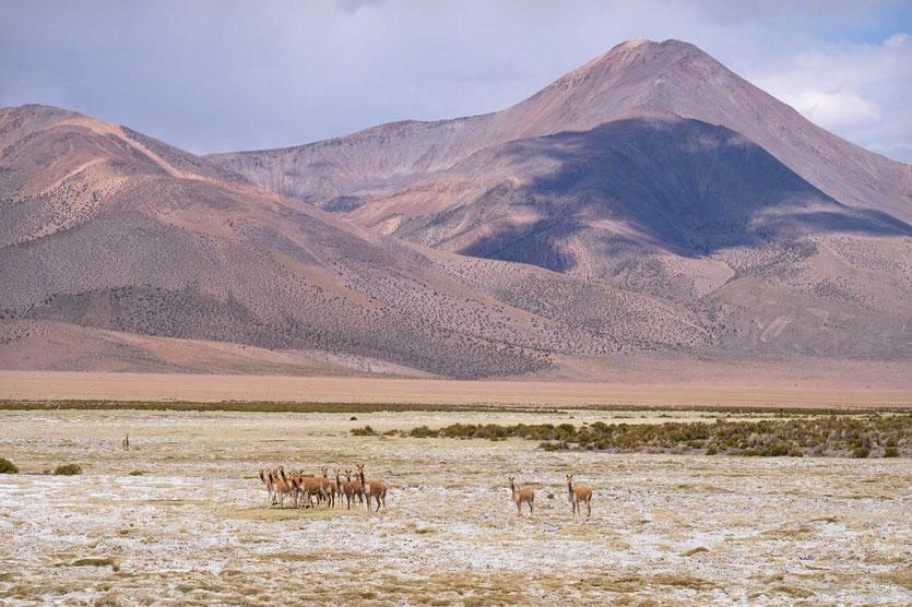 Vikunjas im Volcán Isluga Nationalpark Chile