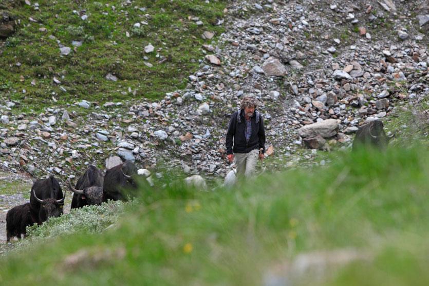 Yak-Auftrieb Reinhold Messner Sulden Vinschgau Südtirol