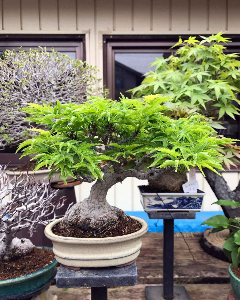 Kyoto Reise Insider-Tipp Bonsai Ausstellung Show Baumschule