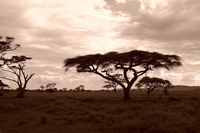 Serengeti Akazien Landschaft Tansania Safari