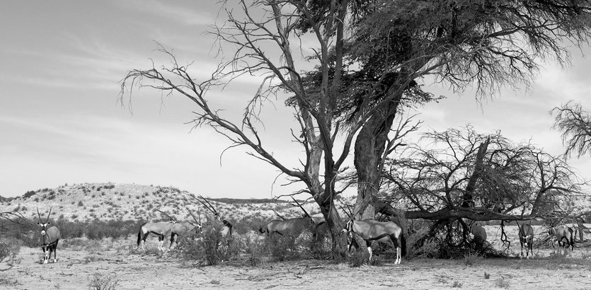 Wildtiere Kgalagadi Transfrontier Park