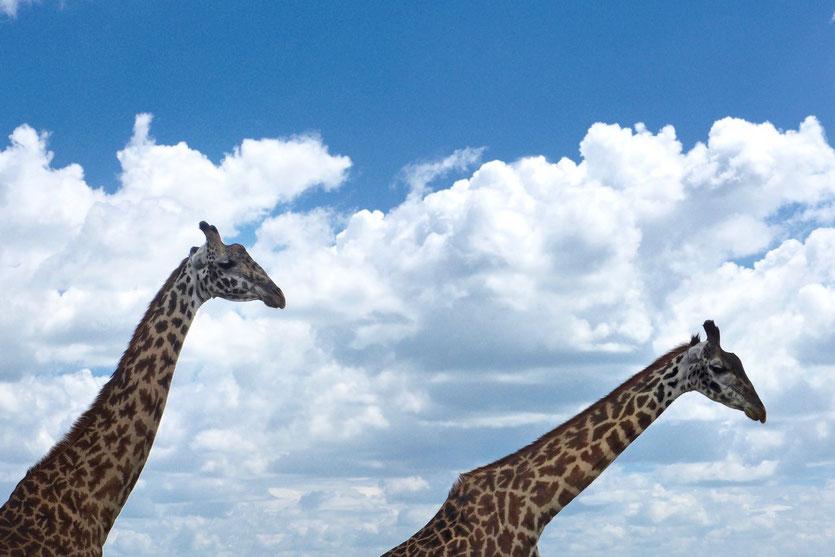 Tanzania Safari Giraffen Serengeti