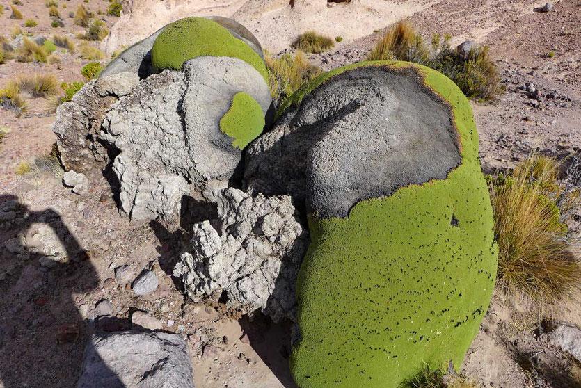 Llareta-Pflanze Andenhochland