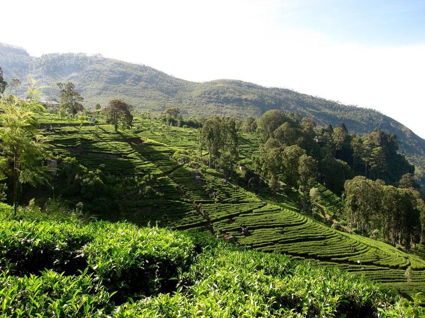 Teeplantage Dambatenne hike Lipton's Seat Sri Lanka