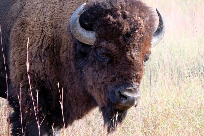 Prachtexemplar von einem Bison im Custer State Park