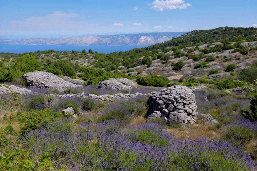 Lavendelfelder zwischen alten Trockenmauern Insel Hvar