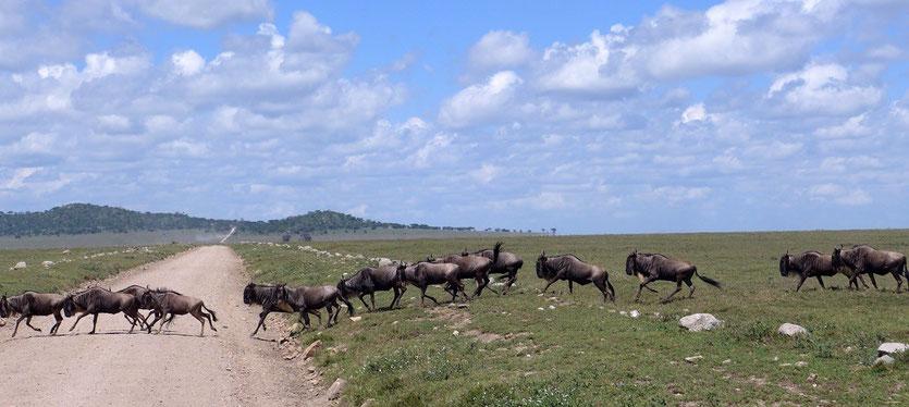 Serengeti Highway Gnu Wanderung Tansania