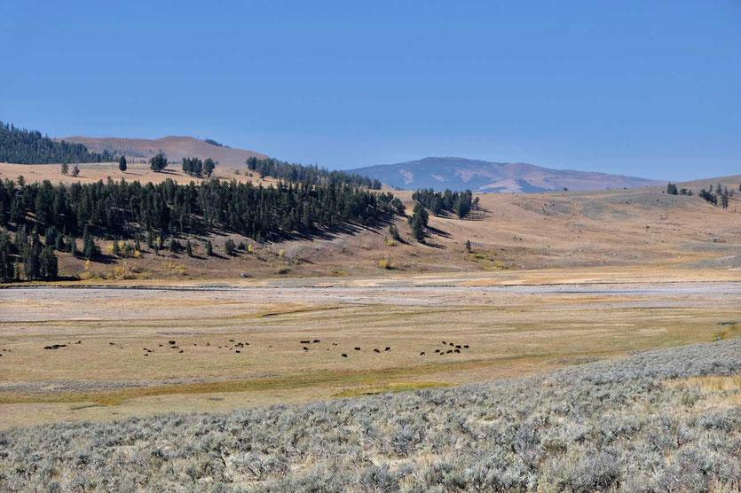 Bisonherde im Lamar Valley Yellowstone Tierbeobachtung