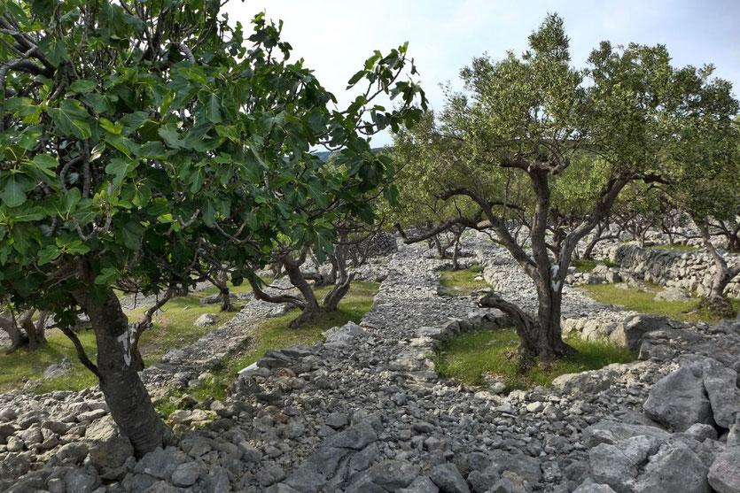 Olivenöl Cres Olivenbäume Wandern