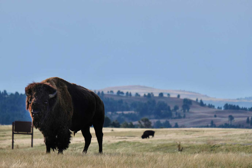 Bisons im Custer State Park Wildlife Loop