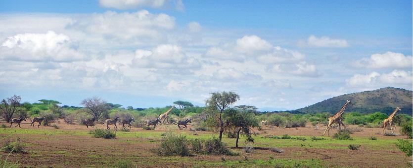 Tansania Safari Savanne Shu'mata camp, im Amboseli Ökosystem