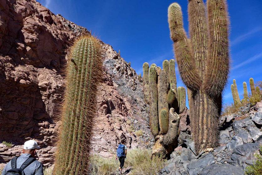 Tal der Riesenkakteen bei Guatín Atacama