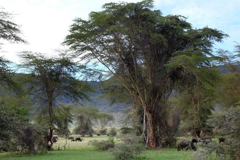 Leira Forest Ngorongoro crater Tanzania safari