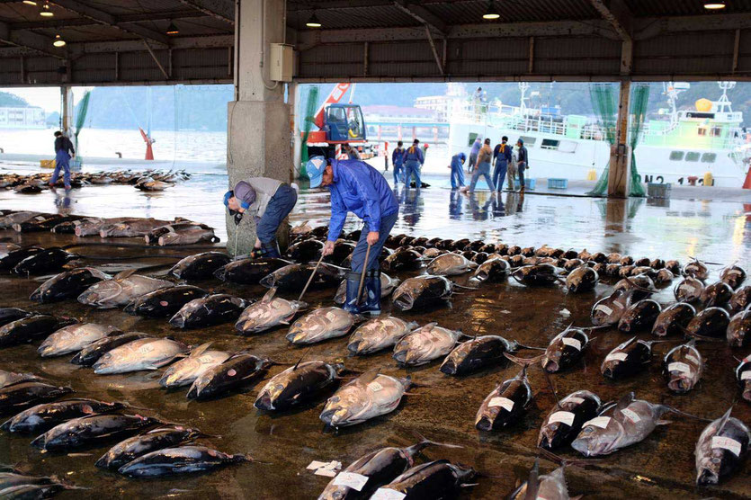 Japan Tuna Auction Thunfischauktion Katsuura Wakayama