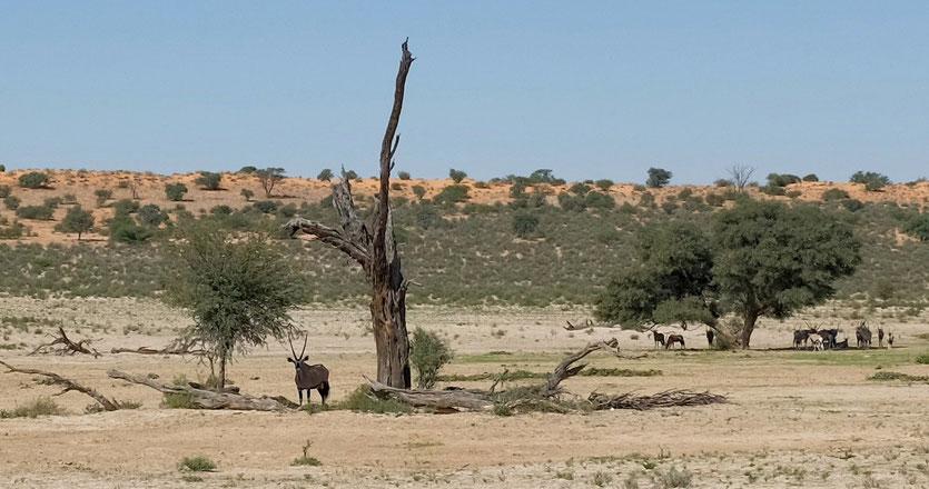 Wildtiere Oryx Kgalagadi Transfrontier Park