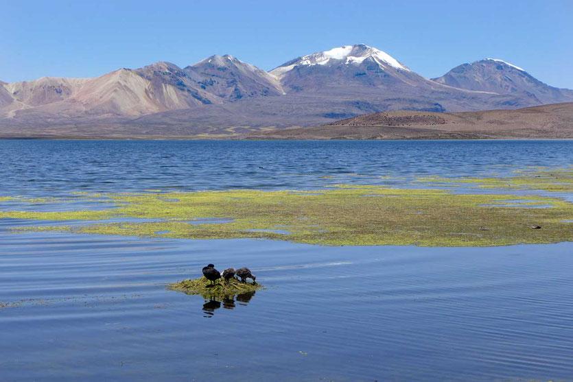 Lago Chungará höchstgelegener Vulkansee der Erde (4.512m) Lauca Nationalpark