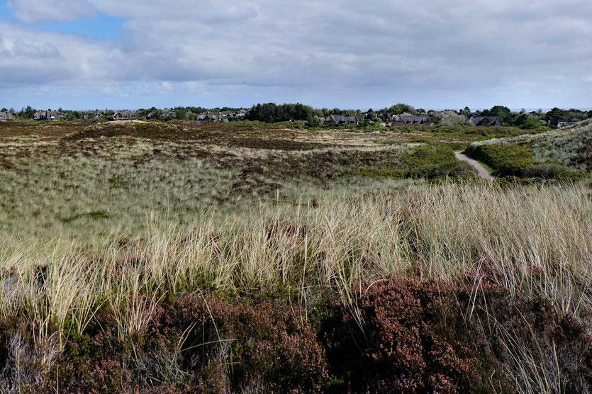 Dünen und Heidelandschaft am Dorf Kampen Sylt