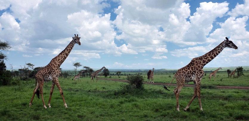 Giraffen Serengeti Safari tour operator