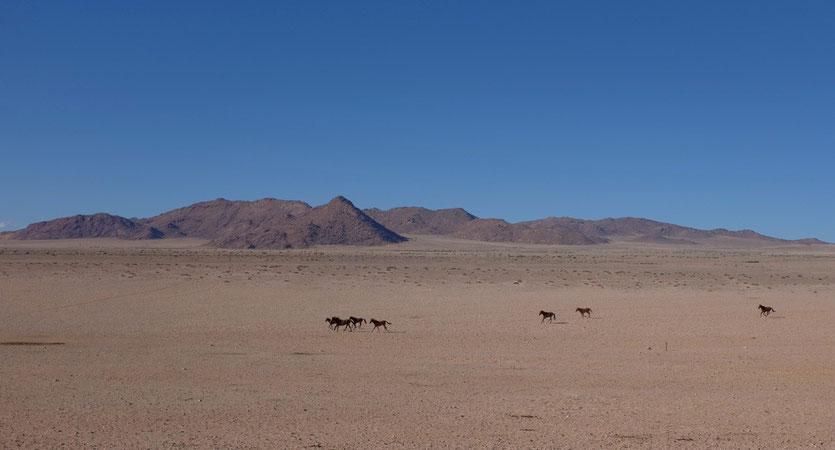 Wüstenpferde von Aus, Namibia