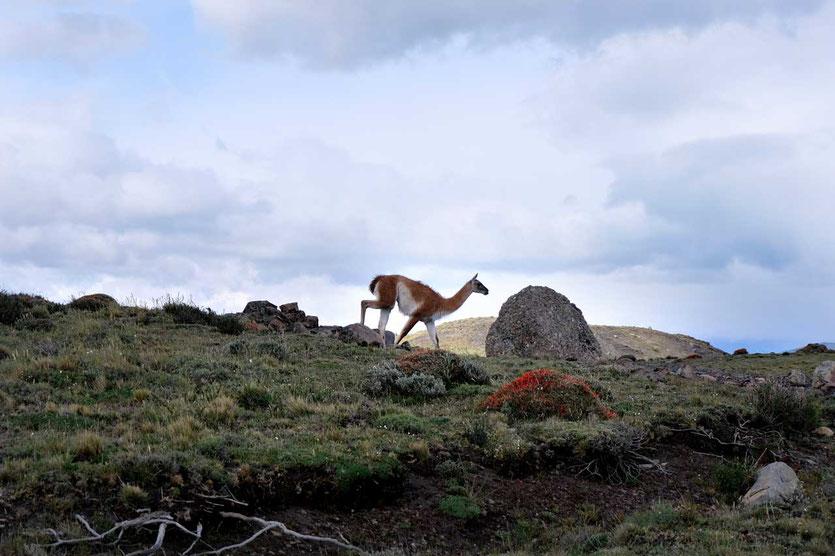 Fauna trail: Guardería Lago Sarmiento – Guardería Laguna Amarga