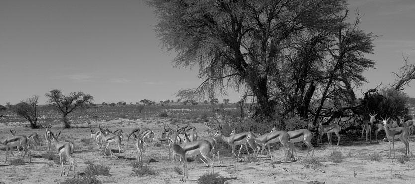 Antilopes Kgalagadi Transfrontier Park