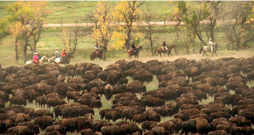 Buffalo Roundup – traditionelles Bisontreiben im Custer State Park