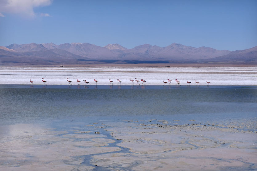 Flamingos am Salar de Surire Chile
