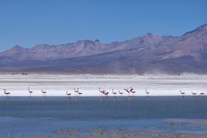 Flamingos Salar de Surire Salzsee