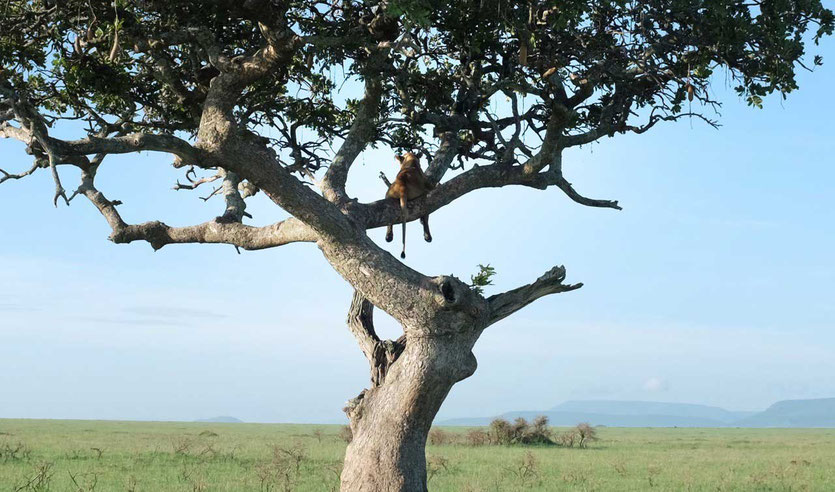 Baumlöwe Tansania Serengeti tree loin tanzania